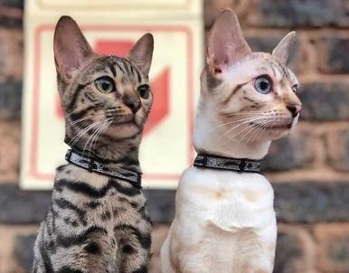 Nightcat Reflective Cat Collar